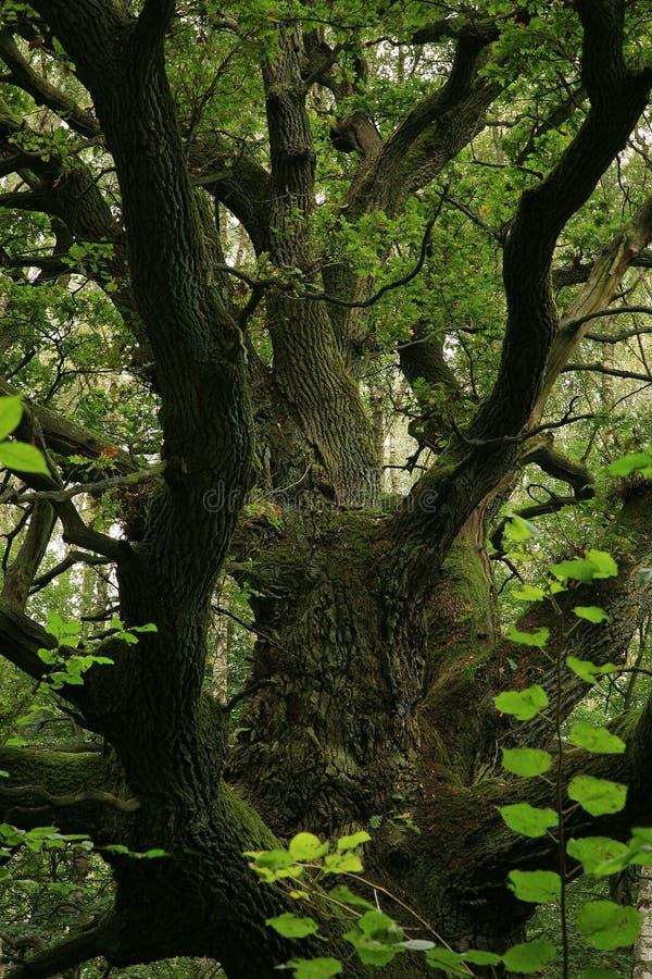 Groene, oude eik. stock foto