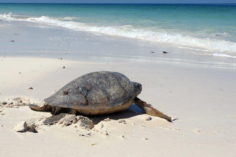 Groene Overzeese Schildpad royalty-vrije stock foto's