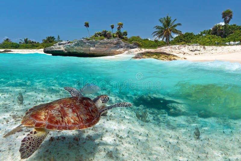 Groene overzeese schildpad dichtbij Caraïbisch strand stock foto's