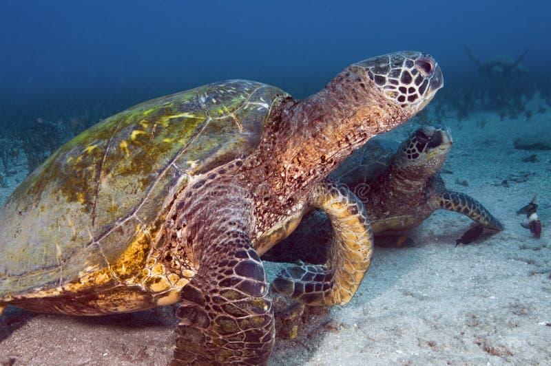 Groene Overzeese Schildpadden royalty-vrije stock afbeeldingen