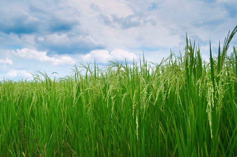 Groene padieveld en hemel stock foto's