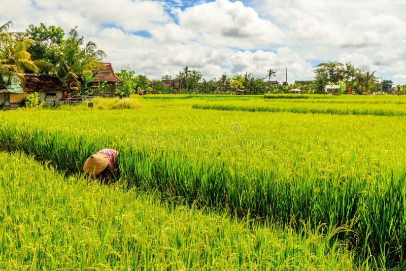 Groene padievelden en huizen en een vrouw in traditionele kegelhoed die rijst op een padiegebied verzamelen, Umalas, Bali, Indone stock fotografie