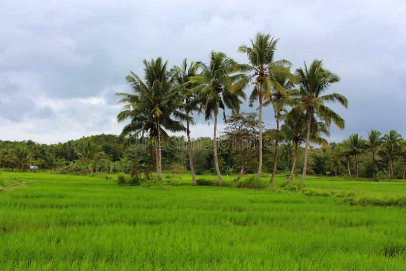 Groene padievelden met palmenachtergrond royalty-vrije stock afbeeldingen