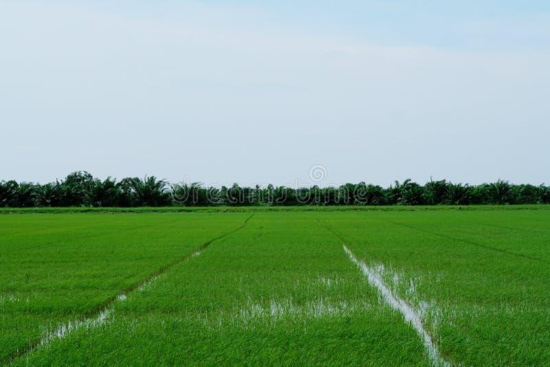 Groene padievelden in platteland van Thailand stock foto's