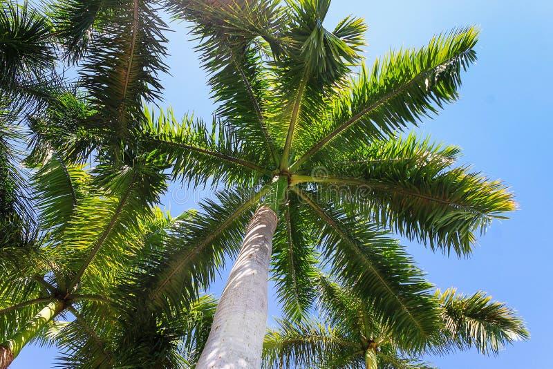 Groene palmbladen op zonnige dag Hoge palm op blauwe hemel stock foto's