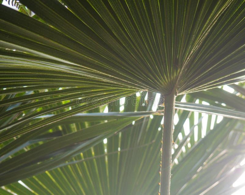 Groene palmbladeren met backlight die door de textuur glanzen stock afbeelding