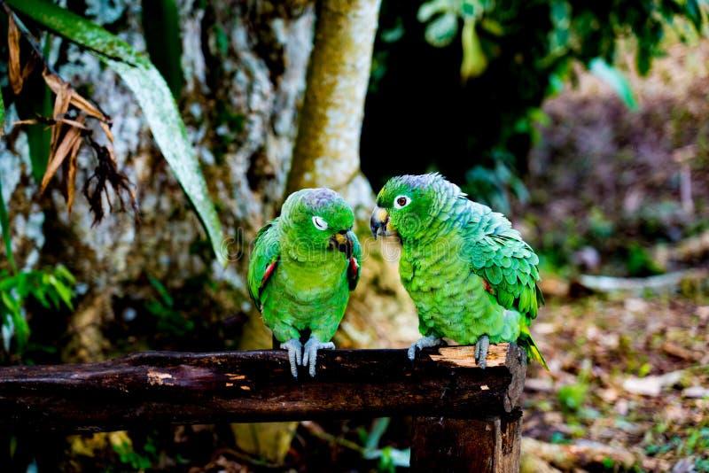Groene papegaaienclose-up in Peruviaans Amazonië Iquitos royalty-vrije stock afbeeldingen