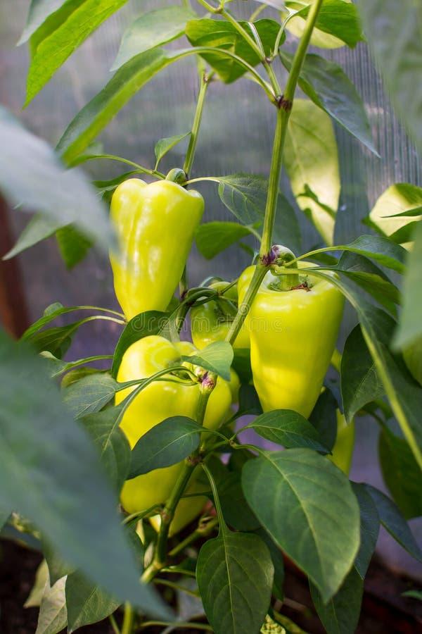 Groene paprika het groeien in tuin royalty-vrije stock afbeeldingen