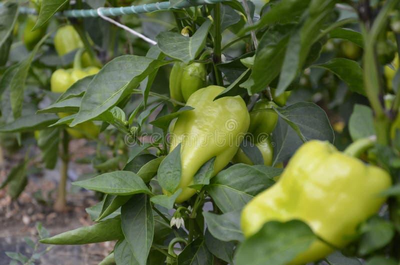Groene paprika's die in een gebied of een aanplanting groeien Plantaardige rijen van peper stock afbeelding