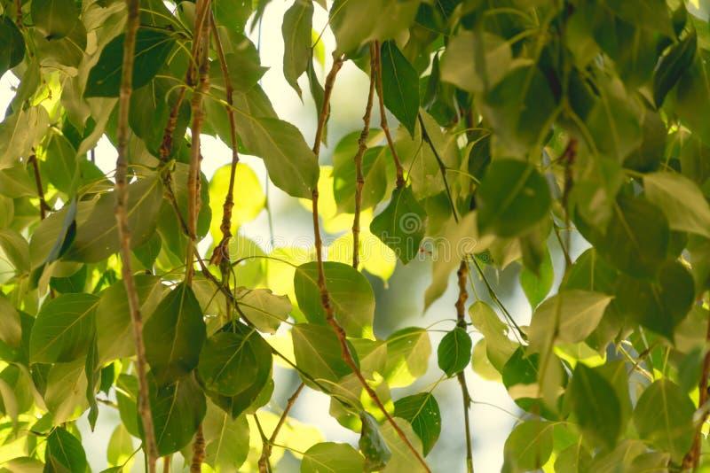 Groene pastelkleurbladeren tegen de vroege ochtendzon, de achtergrond, het patroon en de textuur royalty-vrije stock foto's