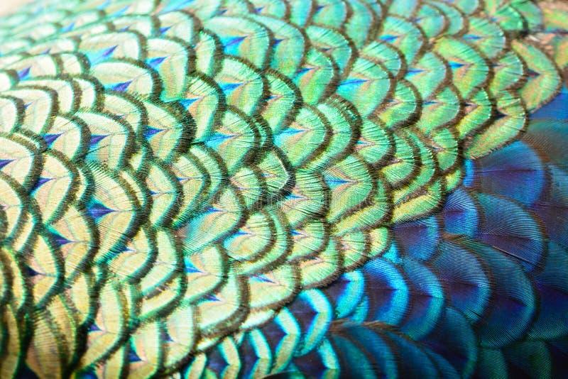Groene pauwveren royalty-vrije stock afbeelding