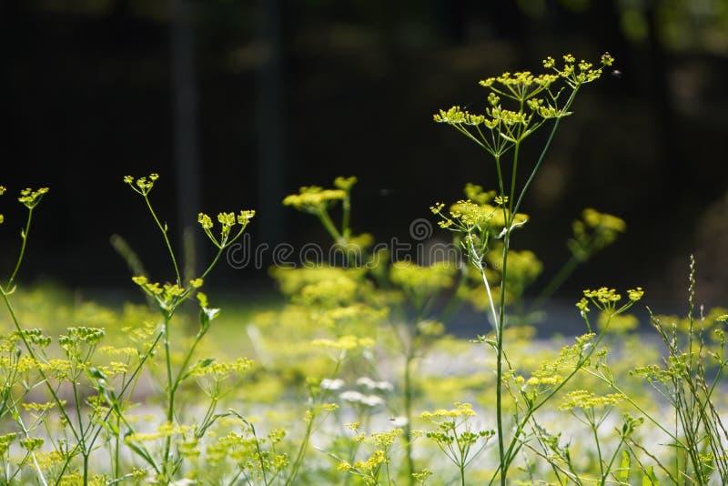 Groene peduncle met gele bloemen, screensaver, vage achtergrond stock foto's