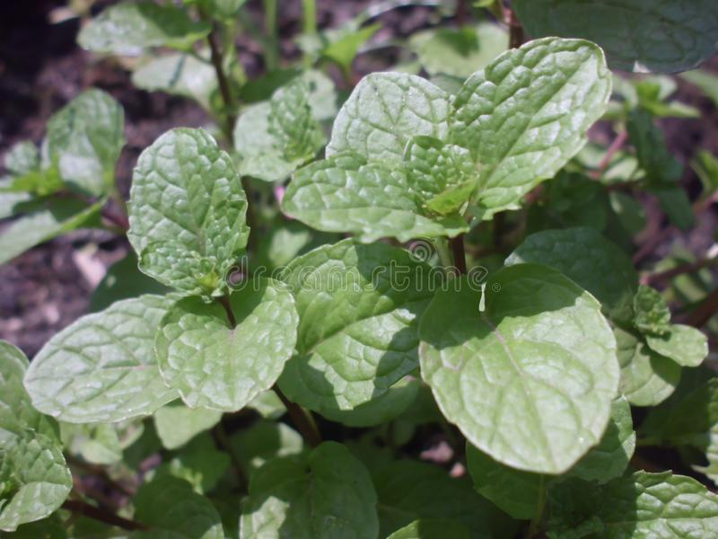 Groene pepermuntbladeren stock foto's