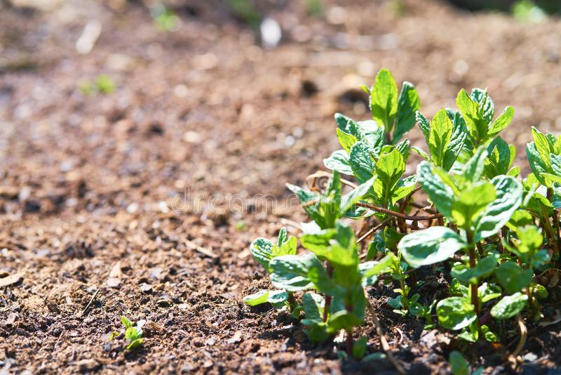 Groene pepermuntinstallatie op bruine grond stock foto's