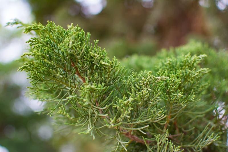 Groene pijnboom of Juniperus in de zomer met vage achtergrond en kleine bokeh royalty-vrije stock afbeelding