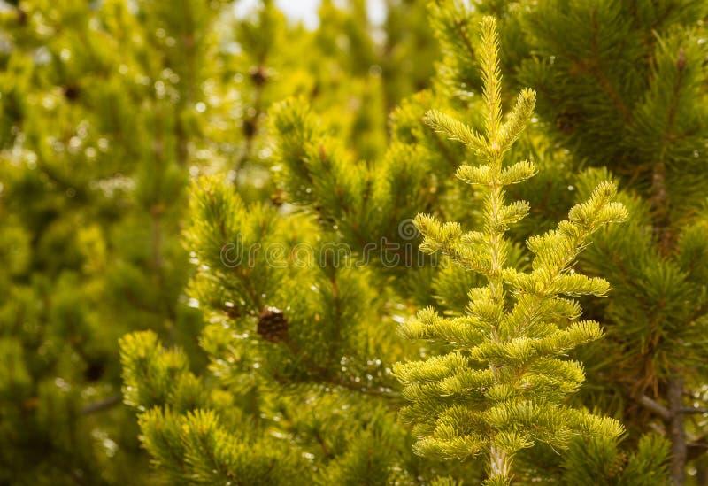 Groene Pijnboombomen Forest Background stock foto
