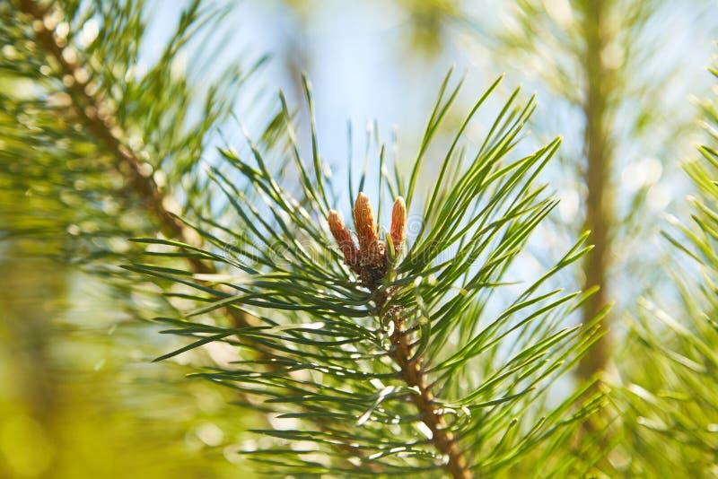 Groene pijnboomtak met naalden en jonge kegels stock afbeeldingen