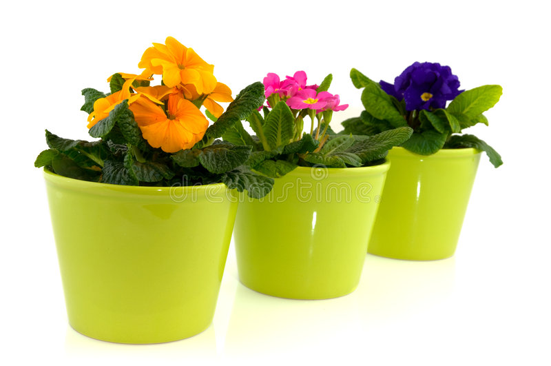 Groene potten met primula's stock fotografie
