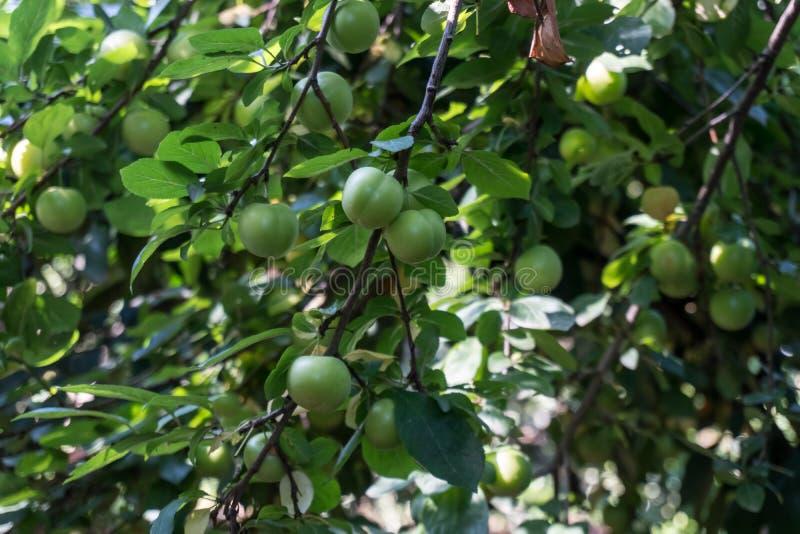Groene Pruimen of Reine-claude op een struik van de pruimboom stock afbeeldingen