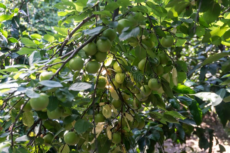 Groene Pruimen of Reine-claude op een struik van de pruimboom royalty-vrije stock foto