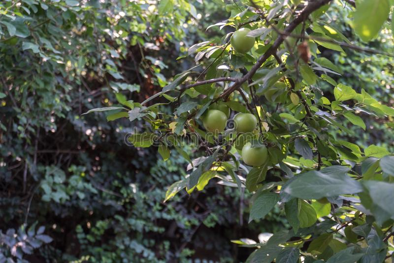 Groene Pruimen of Reine-claude op een struik van de pruimboom stock foto's