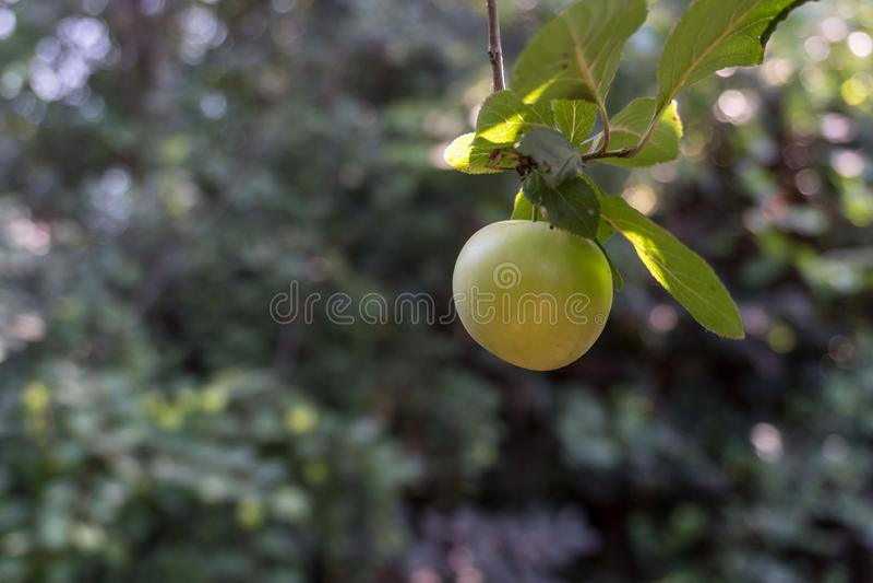 Groene Pruimen of Reine-claude op een struik van de pruimboom stock afbeelding