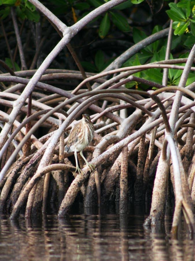 Groene reiger in de mangrove bij Petit Kanaal in Guadeloupe royalty-vrije stock afbeelding