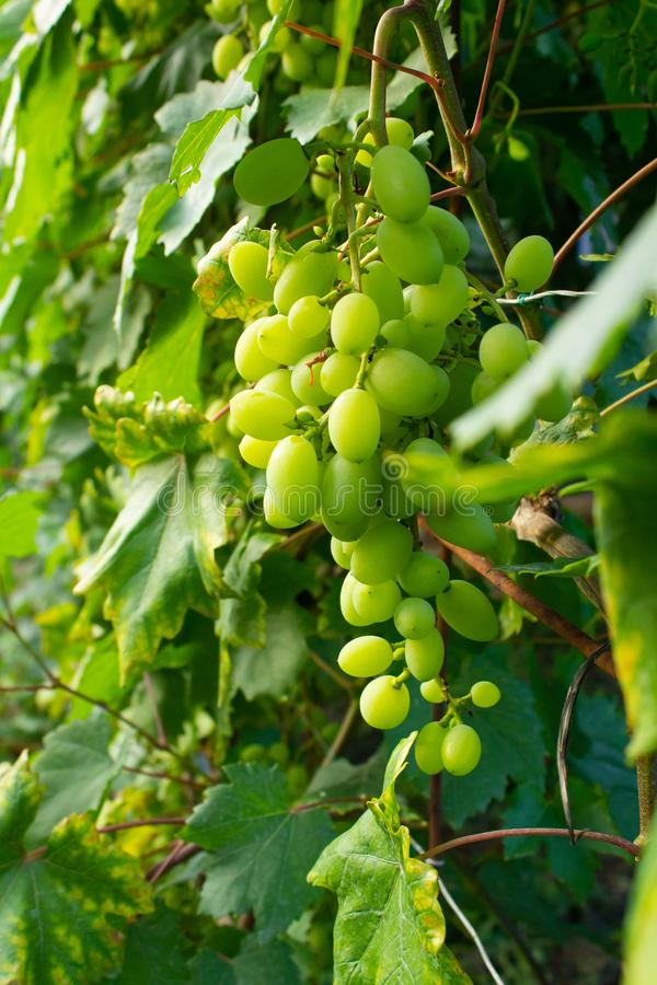 Groene rijpe druiven op een tak stock foto