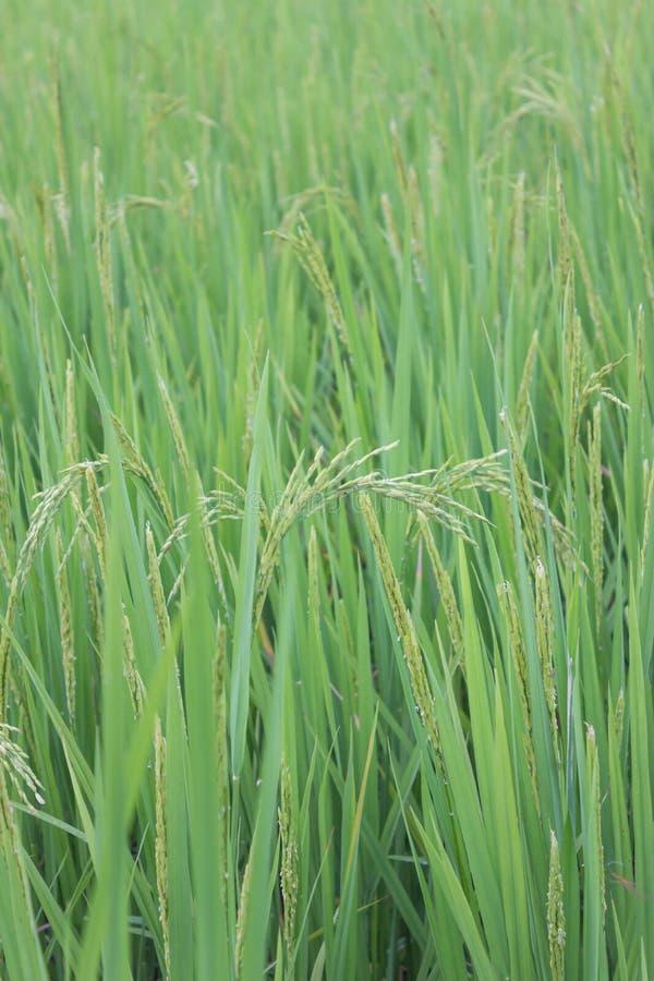 Groene rijst. stock fotografie