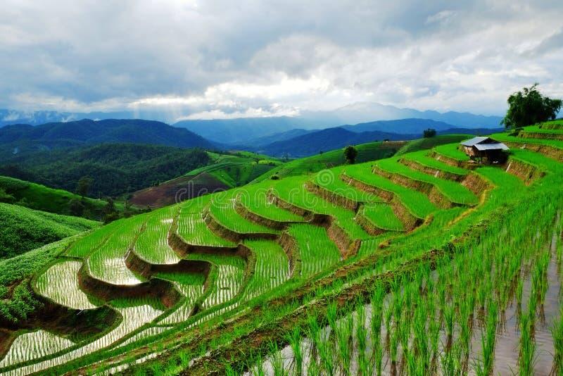 Groene rijst stock afbeeldingen
