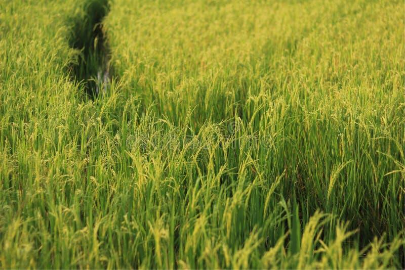 Groene rijst in Thailand stock fotografie