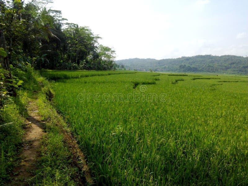 Groene rijstvilages stock fotografie