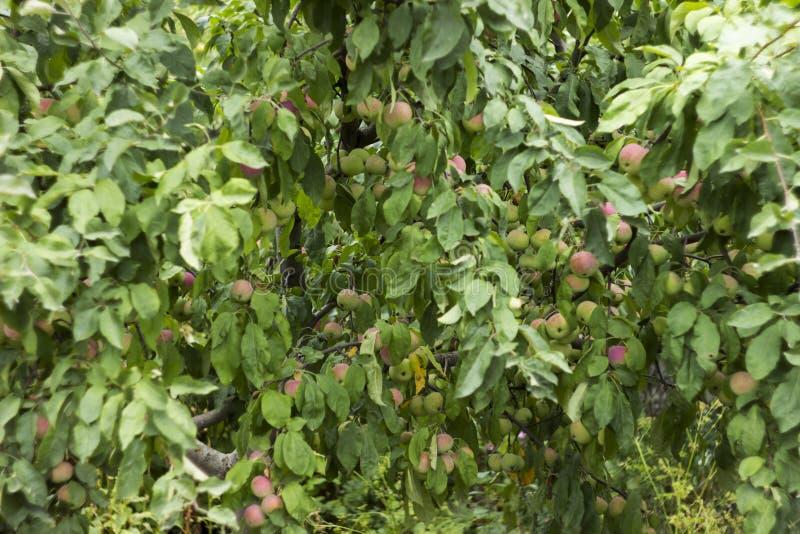 Groene rode appelen die op een tak op de boom, vele vruchten groeien royalty-vrije stock fotografie