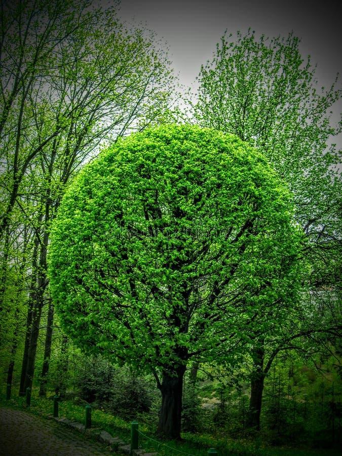 Groene ronde boom stock afbeeldingen