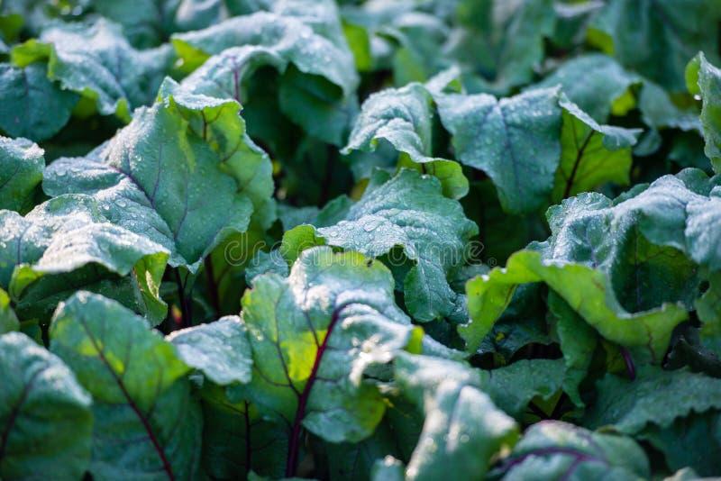Groene sappige bladeren met dauw stock fotografie