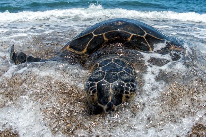 Groene Schildpad bij Kahaluu-Strandpark stock afbeeldingen