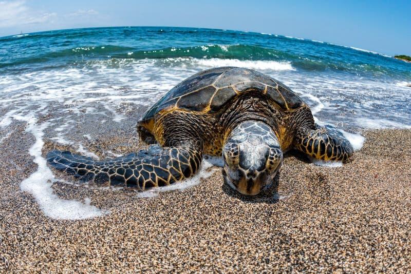 Groene Schildpad die bij kust in Hawaï aankomen royalty-vrije stock afbeelding