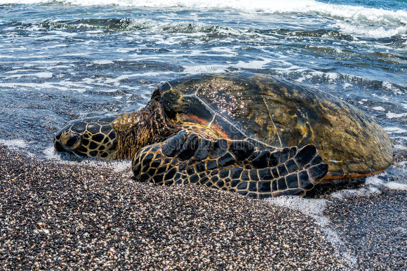 Groene Schildpad die bij kust in Hawaï aankomen stock foto