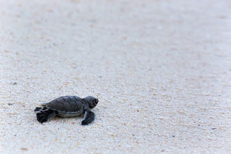 Groene Schildpad Hatchlings stock foto's
