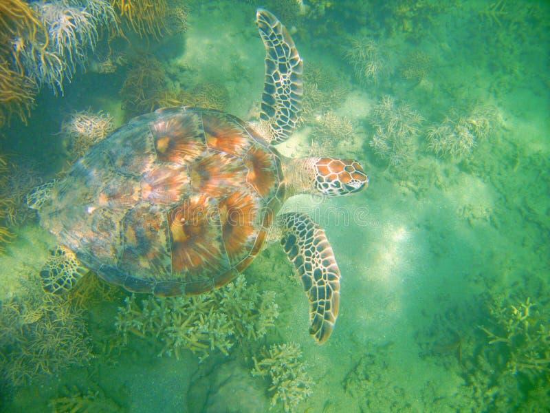 Groene Schildpad, Lage Eilanden, Groot Barrièrerif royalty-vrije stock foto