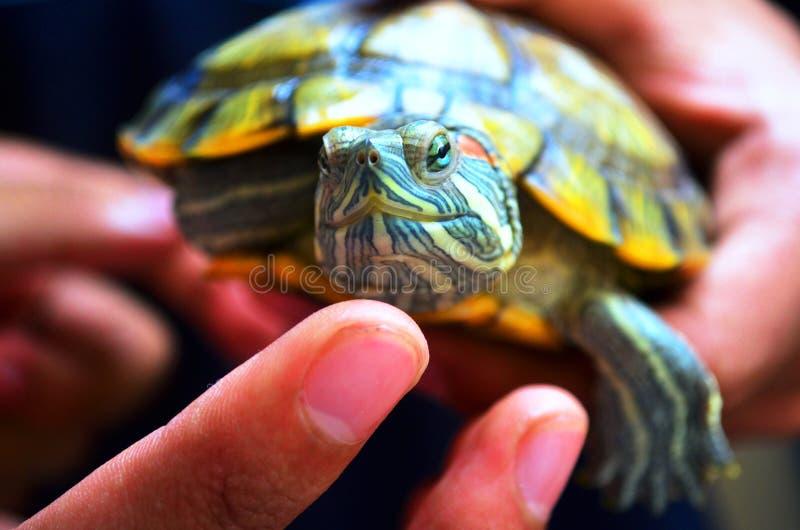 Groene schildpad op de hand stock fotografie