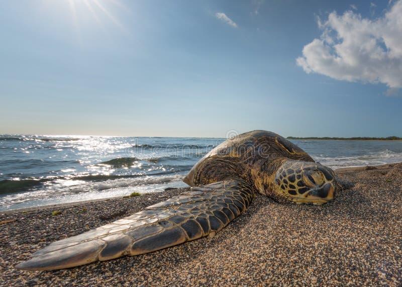 Groene Schildpad op het strand in Hawaï stock foto