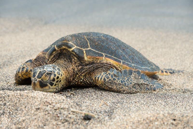 Groene Schildpad op het strand in Hawaï royalty-vrije stock afbeelding