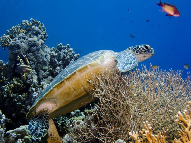 Groene Schildpad op koraal stock foto