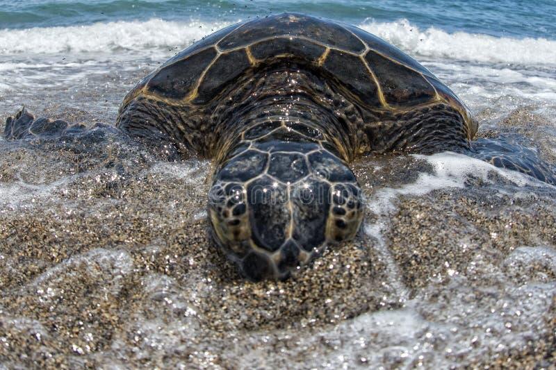 Groene Schildpad op zandig strand in Hawaï stock foto's