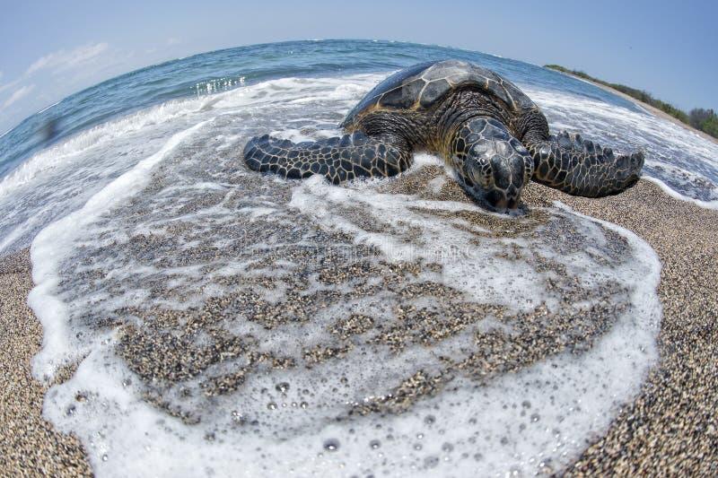 Groene Schildpad op zandig strand in Hawaï stock fotografie
