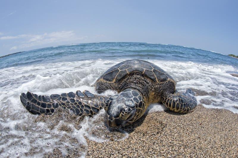 Groene Schildpad op zandig strand in Hawaï royalty-vrije stock foto
