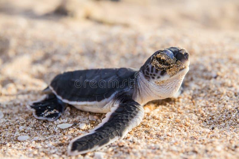 Groene schildpadhatchlings royalty-vrije stock foto's