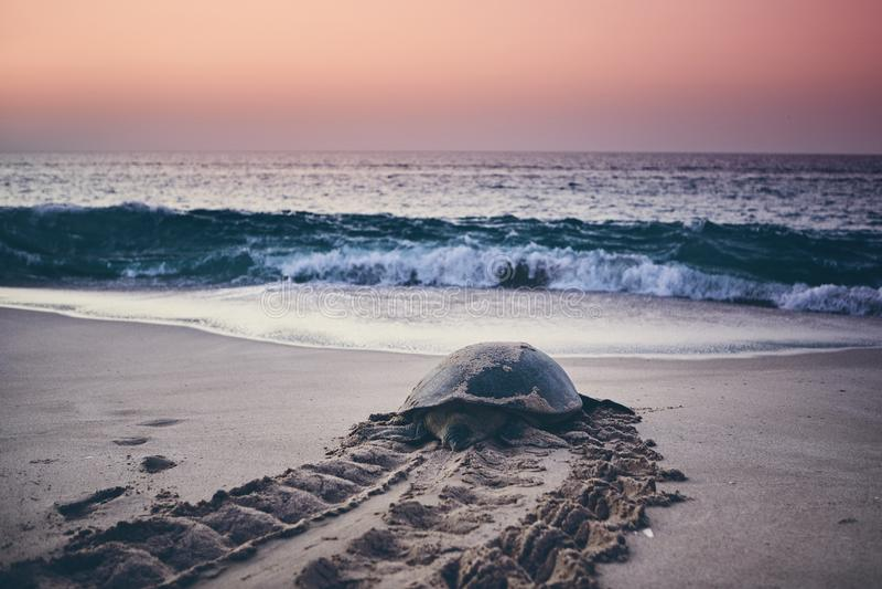 Groene schildpadrubriek terug naar oceaan royalty-vrije stock foto