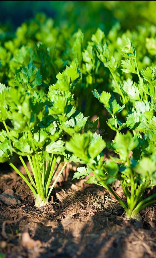 Groene selderie op tuin royalty-vrije stock afbeelding